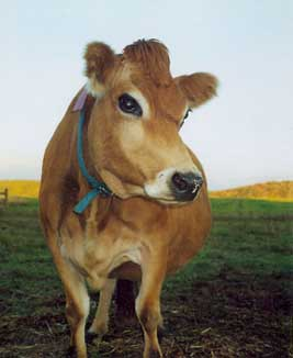 kissable cow