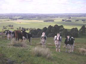 cows view