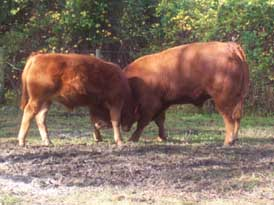 limousin bull and steer playing