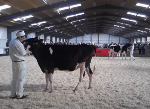 Cow show 1