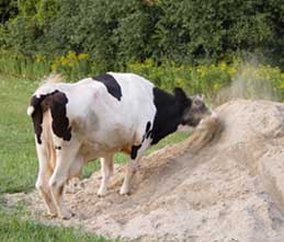 cow in sand