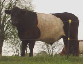 belted cow closeup