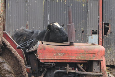 Cow and tractor